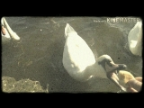 Лебеди Прага