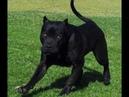Black beautuful cane corso dog