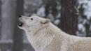 Песня полярного волка.