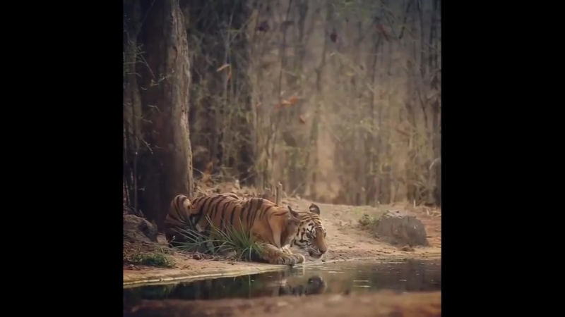 Just a tiger drinking water in the forest - - ️ig sachin_rai_photography.mp4