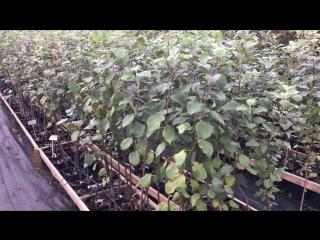 Саженцы яблони, груши, сливы, алычи с закрытой корневой системой (в горшках). Возраст саженцев - 2 года.