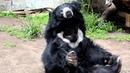 Sloth Bear at the San Diego Zoo
