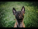 Fight 3 months old malinois puppy