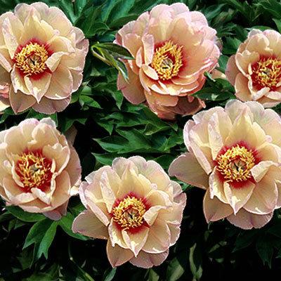 Почему пионы не цветут? Этот вопрос звучит очень часто, и однозначного ответа на него нет. Ниже приведен ряд предположений. Если какое-то из них, или сразу несколько, соответствует состоянию пионов в вашем саду – значит, ответ найден.
