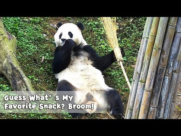 Qing Qing: Guess What's My Favorite Snack? Apple? Carrot? No! It's Broom! | iPanda
