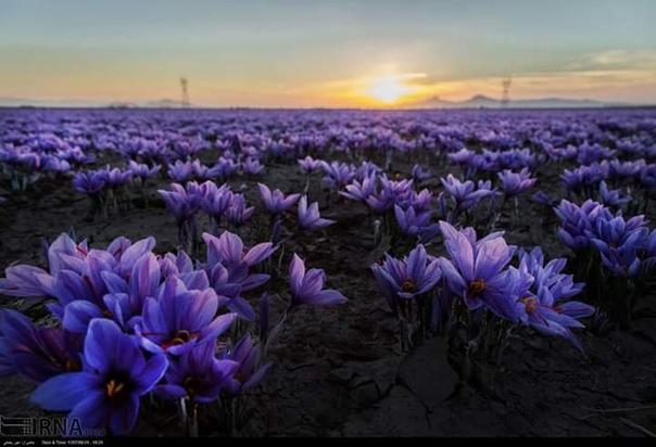 Сбор урожая Шафрана в провинции Хорасан Разави Шафран пряность и пищевой краситель оранжевого цвета, получаемый из высушенных рылец цветков шафрана посевного. До 90 % мирового урожая шафрана