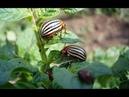 Легкий способ избавиться от колорадского жука Без химии на картошке