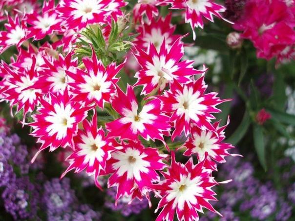 флокс мерцающая звезда флокс мерцающая звезда очень просто отличить от других сортов флоксов. в выращивании принципиальной разницы нет. но лепестки растения словно заострены и в целом цветок