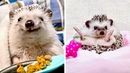 Hedgehogs Are The Happiest Pets On Earth | Funny and Cute Hedgehogs Compilation