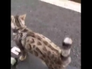 Кот на колёсах