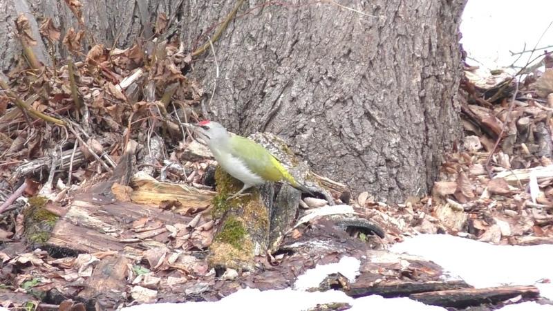 Дятел зеленый Редкий гость на моем участке