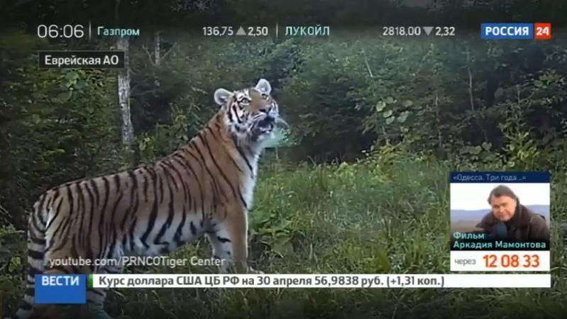 Новости на Россия 24 Спасенную амурскую тигрицу Филиппу выпустили в заказнике Дичун