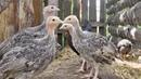 Фермерство. Птицеводство. курятник Куры, индюки утки, гуси в пруду и котёнок