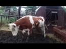 Корова танцует тверк 2019 у себя в огороде. Хозяйка наигрывает Биты. Стильно, модно и зажигательно