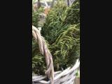 Можжевельник для окуривания дома