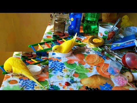 У Чунчика вошь не моется ну он продолжает купаться сам прилетел 20 08 2018 Funny parrot