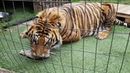 Tigers are not called apex predators for nothing