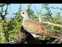 Bẩy chim cu gáy,A bird controls his wonderful voice,European Turtle-Dove