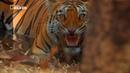 Nat Geo Wild Тайны дикой природы Индии Хищники джунглей 1080р