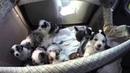 Australian Shepherd Puppies, birth to eight weeks