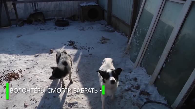 Это просто ходячие скелеты в Приамурье волонтёры спасают из приюта истощённых собак mp4