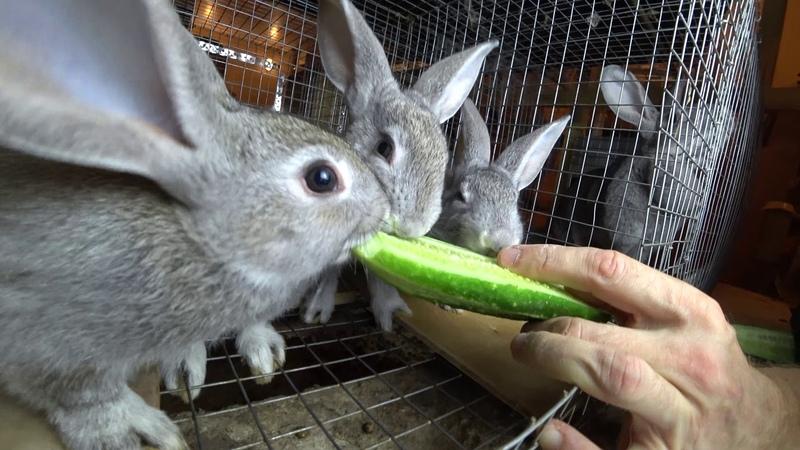 Кормление кроликов: ОГУРЦЫ, КАБАЧКИ, ТЫКВЫ