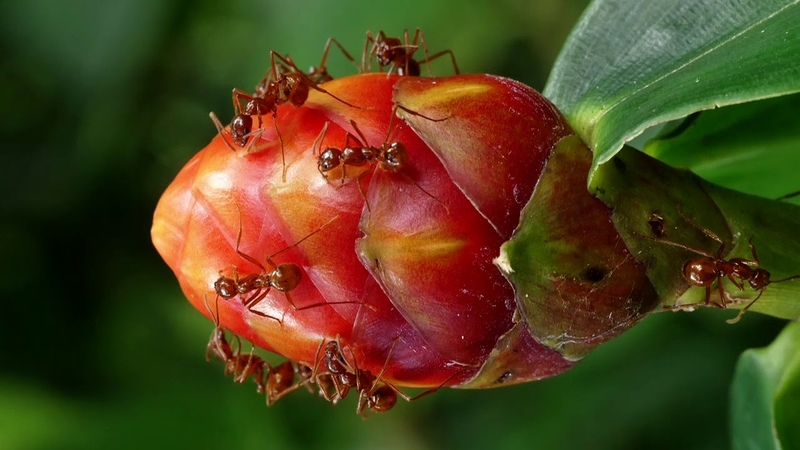 Ants attracted by extrafloral nectar of an inflorescences of Costus sp., Costaceae.