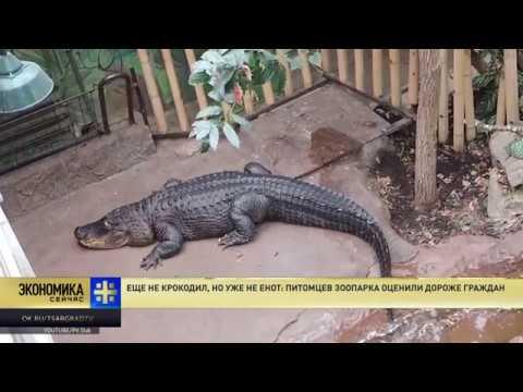 Еще не крокодил но уже не енот питомцев зоопарка оценили дороже граждан
