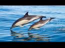 Дельфины - релакс, музыка - Enigma - The Dream Of The Dolphin - Keystudio remake.