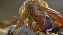 Amazing Crabs Shell Exchange Life Story BBC