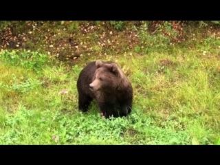 Марина Мохнаткина повстречала медведя)