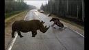 Điều gì sẽ xảy ra khi động vật đụng xe Tai nạn động vật Moose rhino lion hit Car