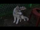 Пёс Тотоша с подружкой Леей