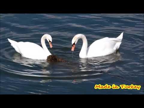 Kuğu videosu iki dakikalık bir huzur Hd izle