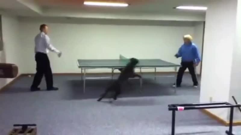 Смешные собаки играют в пинг понг