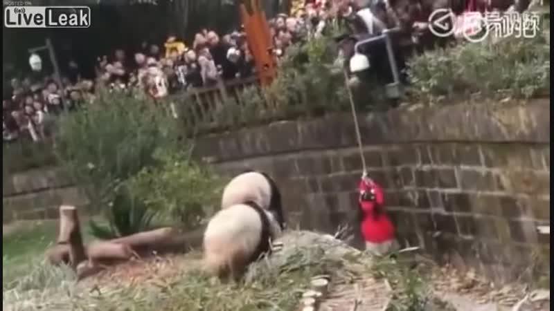 Девочка упала в вольер с пандами The girl fell into an aviary with pandas