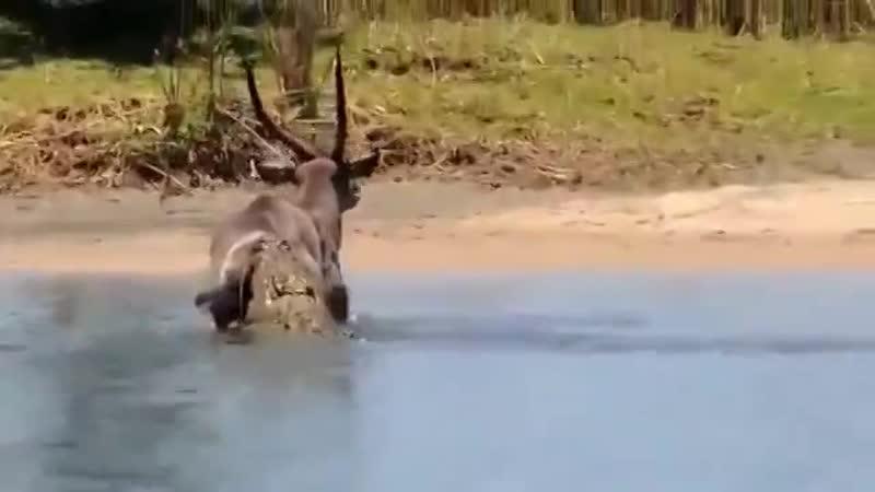 Полусонный нильский крокодил укусил за зад водяного козла