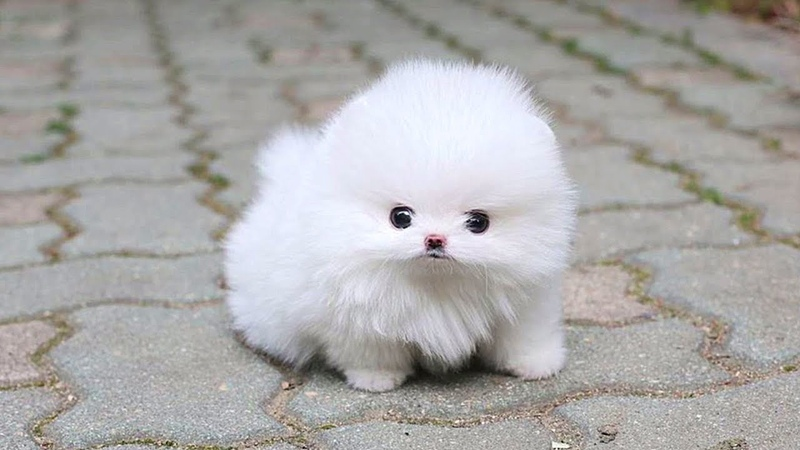 Cute Pomeranian Puppies Videos Compilation 2019 | Cutest and Funny Dogs