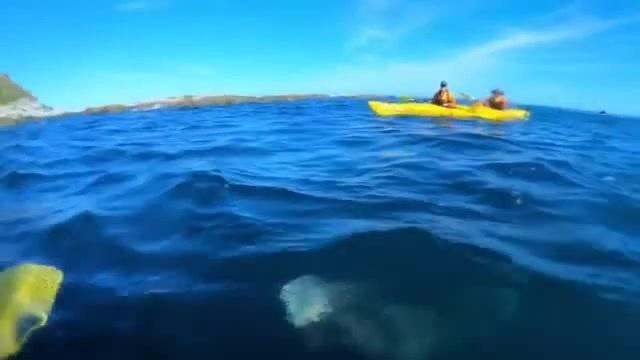 Тюлень бьёт каякера по лицу осьминогом