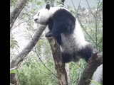 Много неуклюжих панд (6 sec)