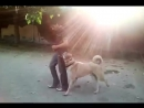 Profesyonel Köpek Eğitim Sivas Kangal