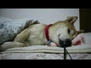 АСМР Собака спит | ASMR Dog sleeps