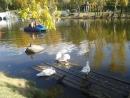 Пруд с утками и гусями в парке Серафима Саровского, Хабаровск