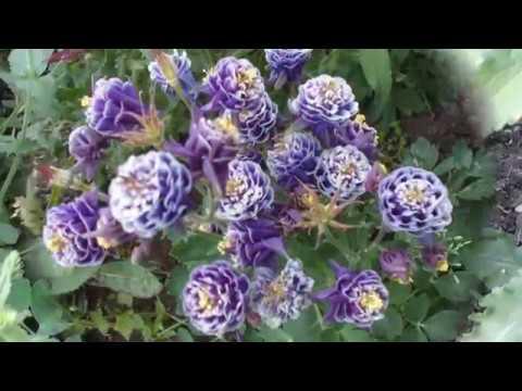 АКВИЛЕГИИ или ВОДОСБОР - цветы для тенистого сада. Музыка для души.