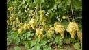 виноград Кишмиш 342 - Выращивание сорта: как сделать все правильно