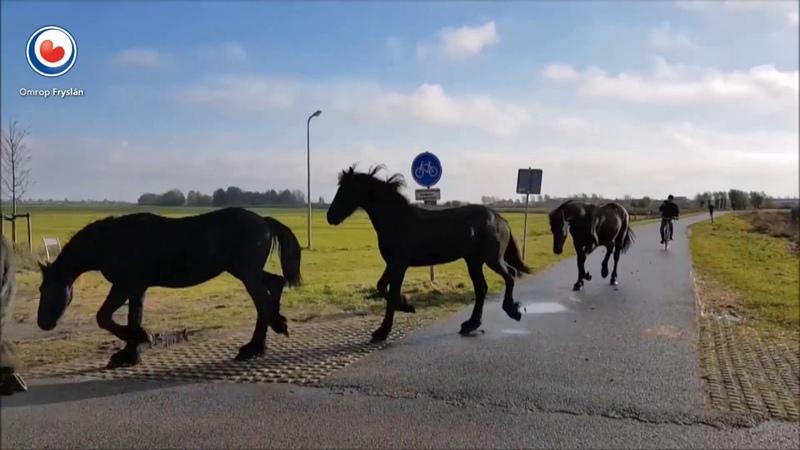 Friese paarden verhuizen van het weiland naar stal