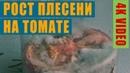 Рост плесени на томате || 4k video timelaps || mold growth