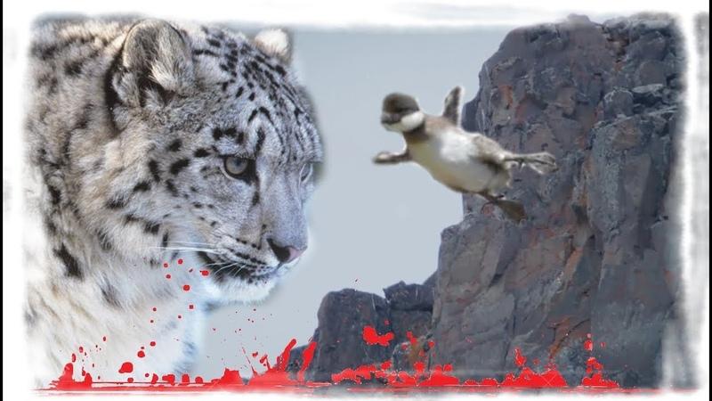 Страшное падение казарки с утёса Снежные барсы начеку