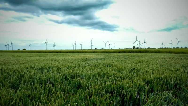 Поле урожая на ветру Остров Фемарн, Северная Германия / A crop field in the wind Fehmarn Island, North Germany