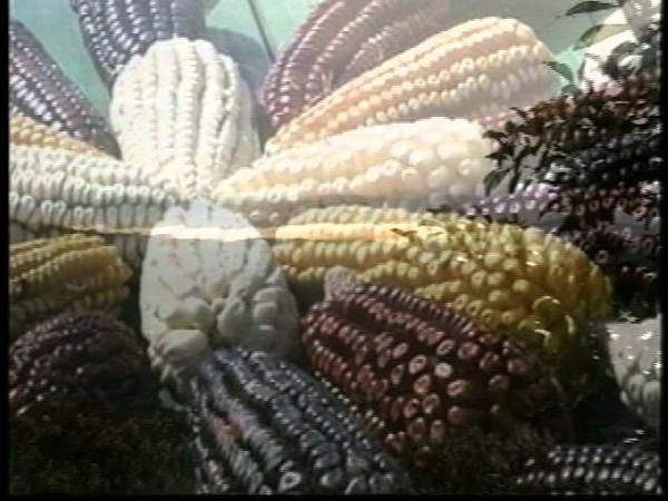 3. Razas de maíz. Nueve mil años de agricultura en México.